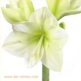 amaryllis mt blanc weiss 12 st ck blumen f r hotel dekoration hochzeiten direkt. Black Bedroom Furniture Sets. Home Design Ideas