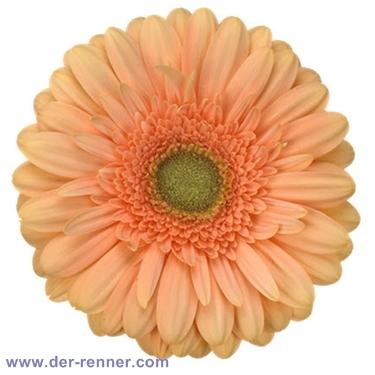 Gerbera Apricot Extase Von Holstein Flowers Blumen Fur Hotel