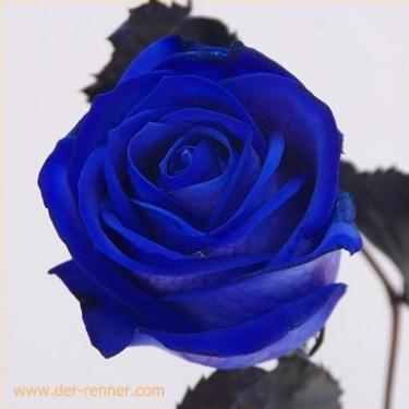 gef rbte blaue rosen 20 st ck blumen f r hotel dekoration hochzeiten direkt vom. Black Bedroom Furniture Sets. Home Design Ideas