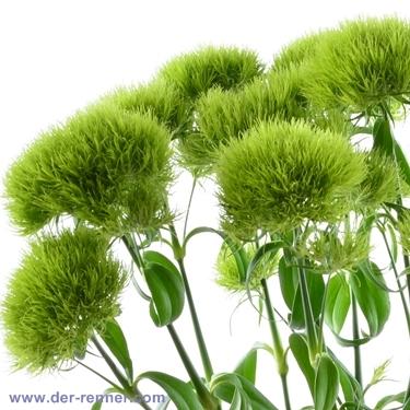 dianthus barbathus green trick in gr n blumen f r hotel. Black Bedroom Furniture Sets. Home Design Ideas