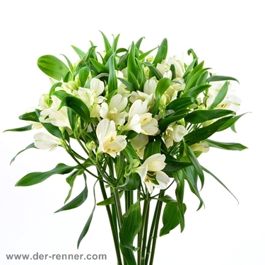 alstroemeria patagonia in creme weiss aus holland blumen f r hotel dekoration hochzeiten. Black Bedroom Furniture Sets. Home Design Ideas