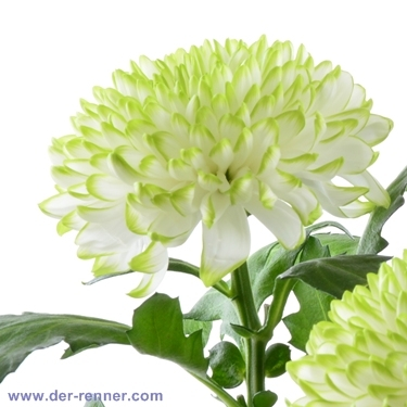 chrysantheme deko zembla lime green in weiss gr n blumen. Black Bedroom Furniture Sets. Home Design Ideas