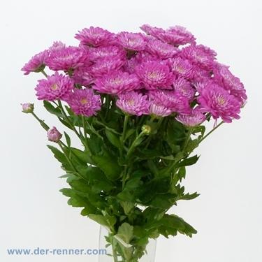 tros chrysantheme exopolis lila pink aus holland blumen f r hotel dekoration hochzeiten. Black Bedroom Furniture Sets. Home Design Ideas