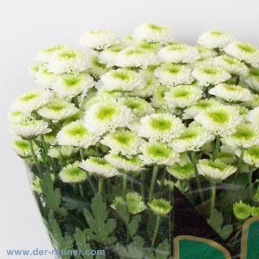 Santini Chrysanthemen Ferry Grun Weiss Aus Holland Blumen Fur