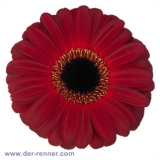 Gerbera bordo - Dark Diamond - 25 Stück