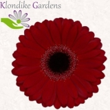 Mini Gerbera bordeaux - Sorte Black Night - 30 St.