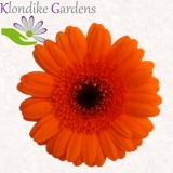 Mini Gerbera orange - Sorte Bison - 30 St.