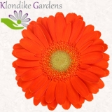 Mini Gerbera orange - Sorte Terra Plymouth - 30 St.