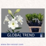 Lilie - Longiflorum weiss - Global Trend - 10 St.