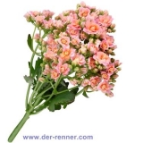 Queen Kalanchoe - Lovable Pink - 10 St.