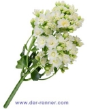 Queen Kalanchoe - Tender White - 10 St.