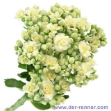 Queen Kalanchoe - Cremy White - 10 St.