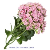 Queen Kalanchoe - Delecate Pink - 10 St.