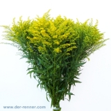 Solidago Golden Glory VE:25 St.