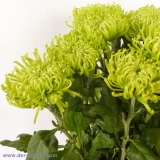Chrysantheme Deko Anastasia Green VE 10 St.