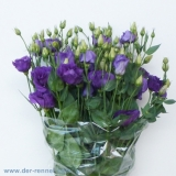 Eustoma Piccolo Blue VE 10 St.