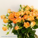 Polyantha Rose - Babe Orange - 20 Stück