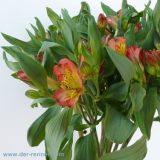 Alstroemeria orange - Lucero VE 10 St.
