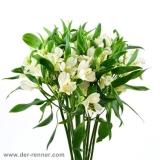Alstroemeria creme weiss - Patagonia VE 10 St.