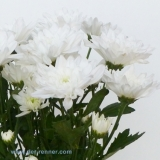 Chrysantheme Tros Zembla weiss VE 20 St.