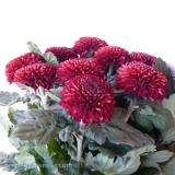 Chrysantheme Deko Kiev bordeaux VE 10 St.